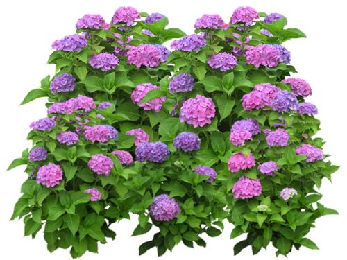 Les hortensias en bretagne - Faut il couper les fleurs fanees des hortensias ...