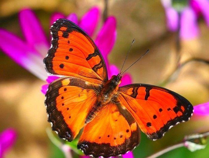 Les papillons. - Page 2 10_9