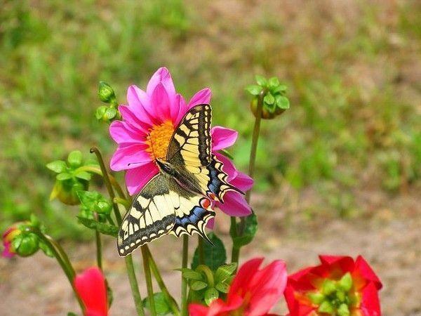 Les papillons. - Page 3 13a3867a