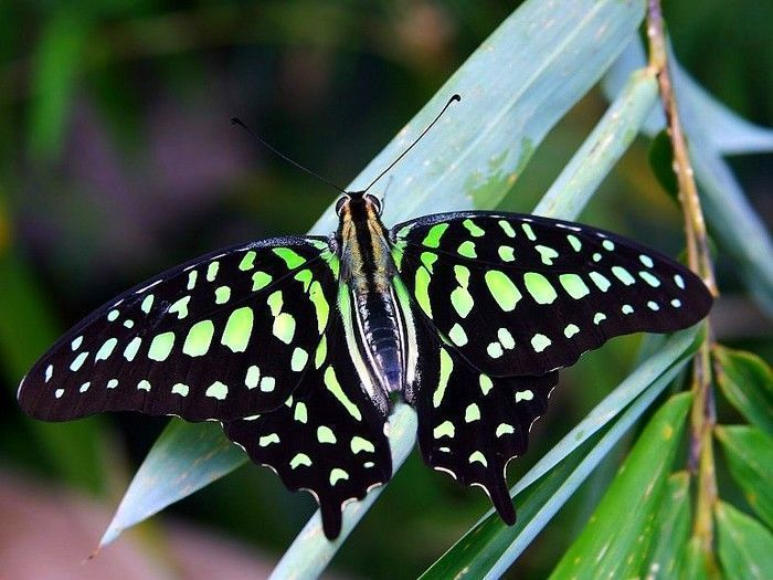 Les papillons. - Page 2 15_5