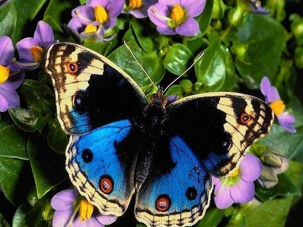 Les papillons. - Page 2 1e67e908