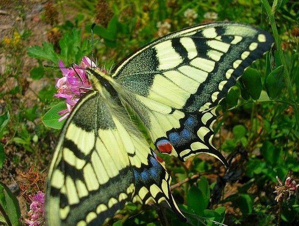 Les papillons. - Page 2 46176de6