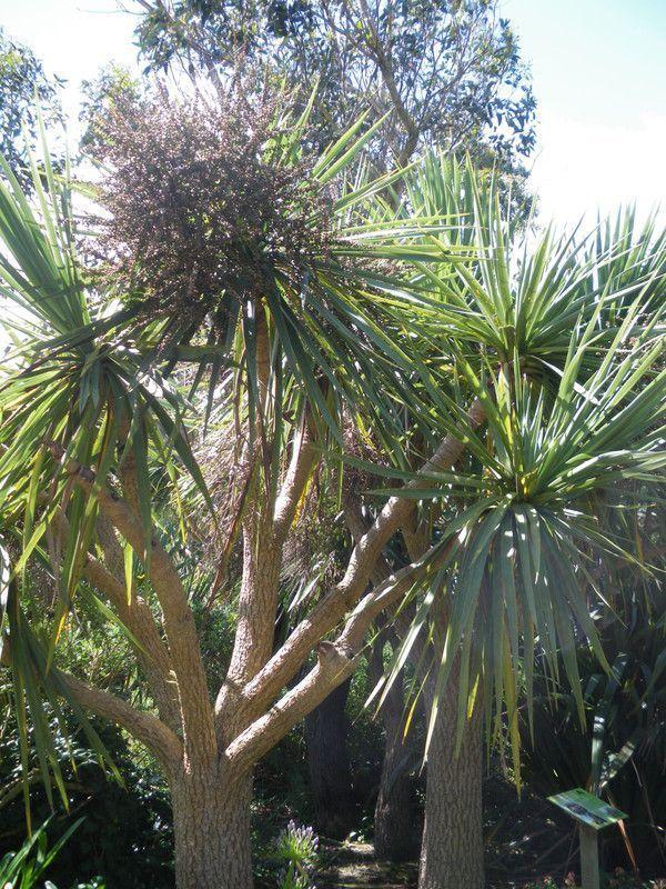 Mes photos jardin exotique a roscoff page 4 for Arbre de jardin a croissance rapide