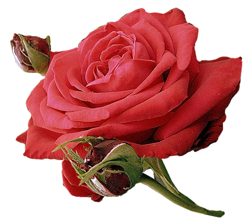 Rose d'Amour et d'Amitié