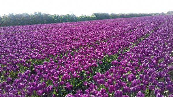 Les champs de tulipes & jacinthes à Plomeur Bretagne