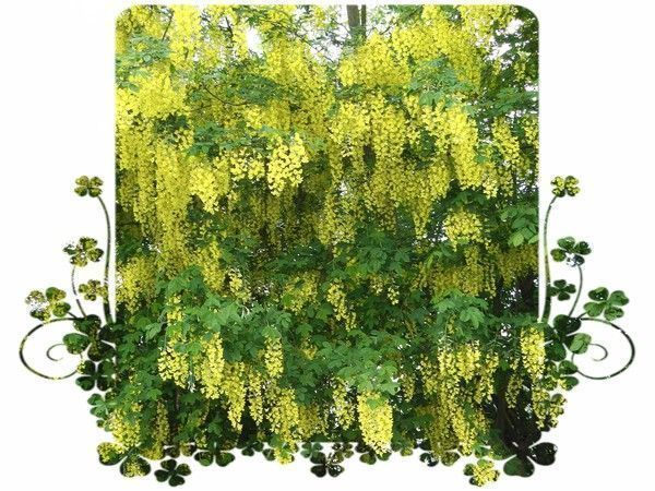 Le cytise splendide avec ces grappes de fleurs jaunes - Arbuste a fleurs jaunes ...