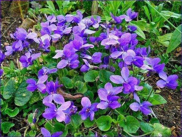 La Violette Poème