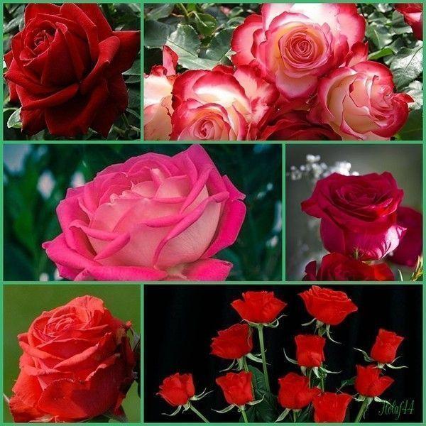 La Rose Rouge L'Amour