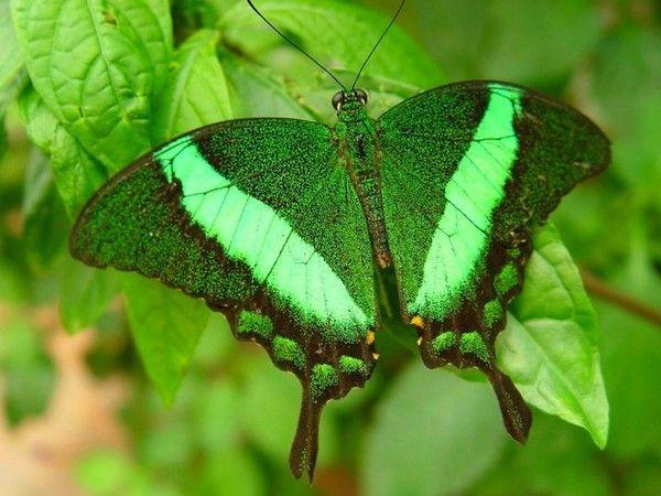 Les papillons. - Page 2 D9f70912