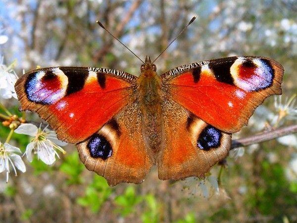 Les papillons. - Page 3 F3b393e9