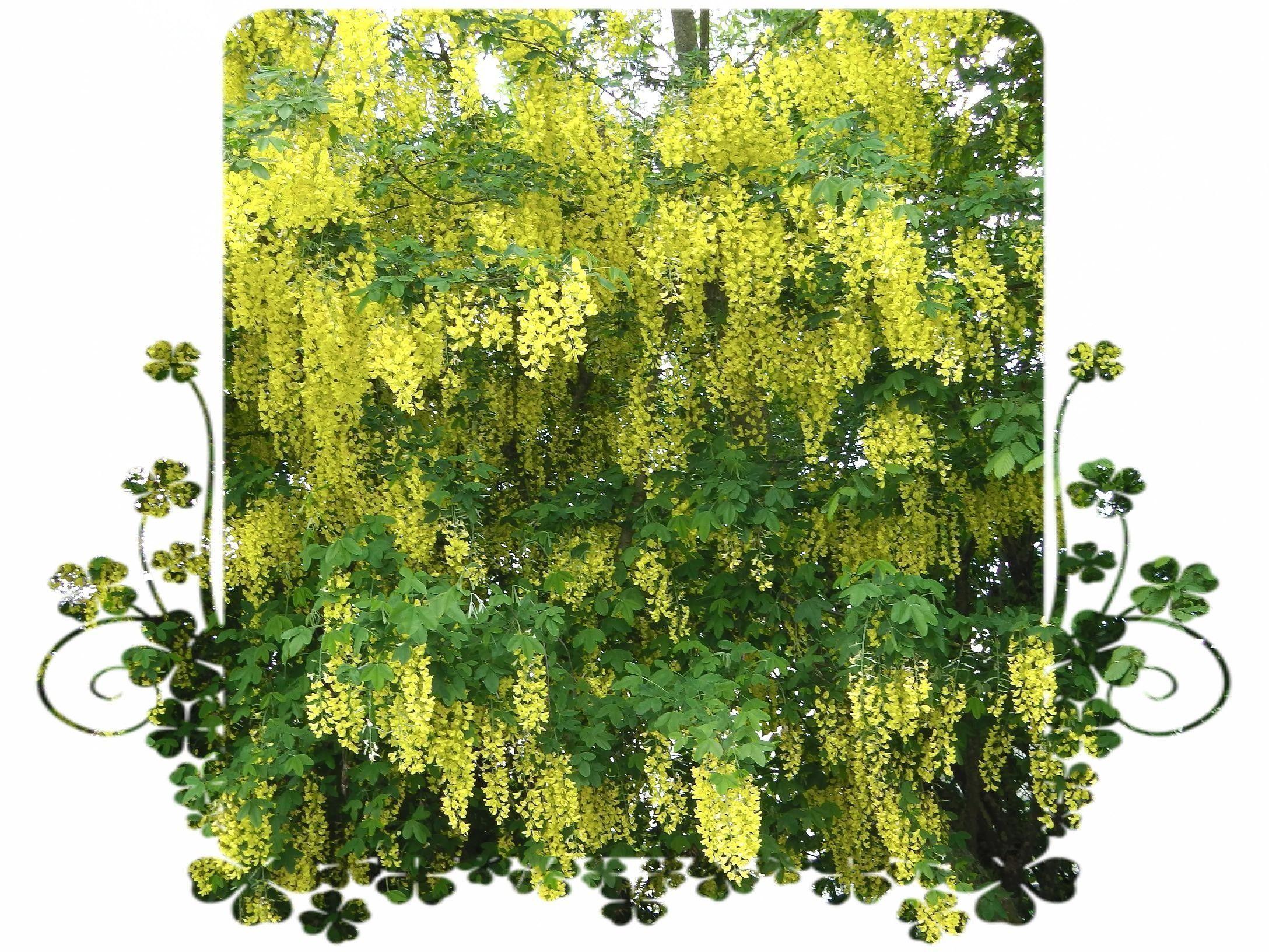 le cytise splendide avec ces grappes de fleurs jaunes. Black Bedroom Furniture Sets. Home Design Ideas