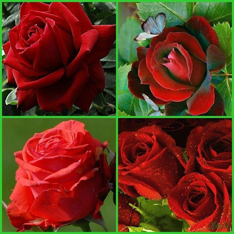 Offrir des roses rouges for Offrir des roses