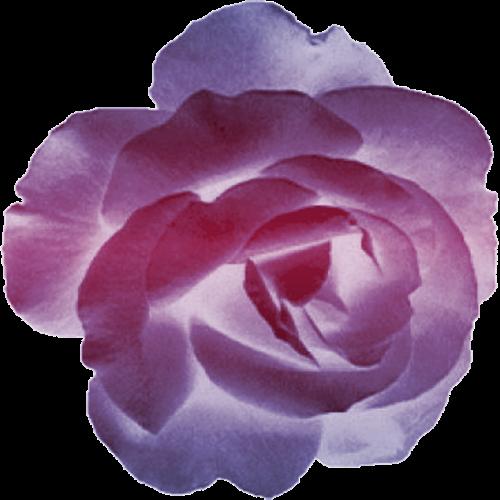 """Résultat de recherche d'images pour """"centerblog belle image de rose couleur pourpre"""""""